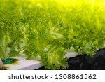 hydroponic lettuces in... | Shutterstock . vector #1308861562