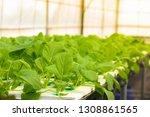 hydroponic lettuces in... | Shutterstock . vector #1308861565