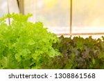 hydroponic lettuces in... | Shutterstock . vector #1308861568