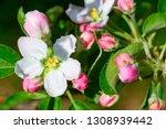 blossoming apple garden in... | Shutterstock . vector #1308939442