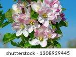 blossoming apple garden in... | Shutterstock . vector #1308939445