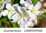 blossoming apple garden in... | Shutterstock . vector #1308939448