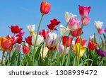 fresh blooming tulips in the... | Shutterstock . vector #1308939472