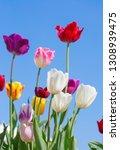 fresh blooming tulips in the... | Shutterstock . vector #1308939475