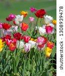 fresh blooming tulips in the... | Shutterstock . vector #1308939478