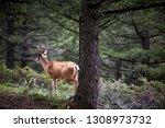 Young Buck Deer Standing In A...