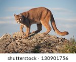 Mountain Lion In Montana. Very...