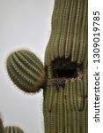 Bird\'s Nest Inside A Saguaro...