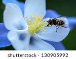 Blue Columbine Wildflower Clos...