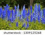 spires of blue delphiniums... | Shutterstock . vector #1309125268