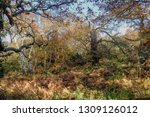 sherwood forest in autumn... | Shutterstock . vector #1309126012