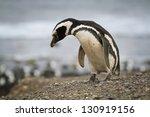magellan penguin | Shutterstock . vector #130919156