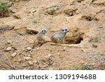 suricata suricatta couple snout ... | Shutterstock . vector #1309194688