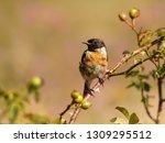 juvenile european stonechat... | Shutterstock . vector #1309295512