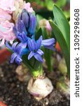 hyacinth  hyacinthus orientalis ...   Shutterstock . vector #1309298608