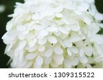 beautiful soft white annabelle... | Shutterstock . vector #1309315522