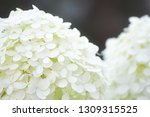 beautiful soft white annabelle... | Shutterstock . vector #1309315525