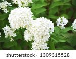 beautiful soft white annabelle... | Shutterstock . vector #1309315528