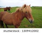 horse with blonde mane  rural... | Shutterstock . vector #1309412002