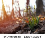 snowdrop or common snowdrop ... | Shutterstock . vector #1309466095