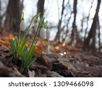 snowdrop or common snowdrop ... | Shutterstock . vector #1309466098