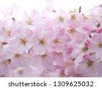 pink japanese cherry blossoms | Shutterstock . vector #1309625032