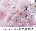 pink japanese cherry blossoms | Shutterstock . vector #1309625035