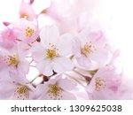 pink japanese cherry blossoms | Shutterstock . vector #1309625038