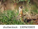 the meerkat or suricate ... | Shutterstock . vector #1309653835
