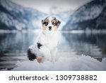 Stock photo australian shepherd puppy in winter puppy in the snow in beautiful landscape puppy at the lake 1309738882