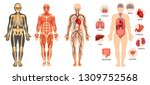 anatomical structure of human... | Shutterstock .eps vector #1309752568