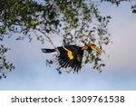great hornbill  great indian... | Shutterstock . vector #1309761538