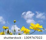 yellow cosmos flower or cosmos... | Shutterstock . vector #1309767022