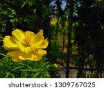 yellow cosmos flower or cosmos... | Shutterstock . vector #1309767025