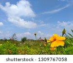 yellow cosmos flower or cosmos... | Shutterstock . vector #1309767058