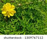 yellow cosmos flower or cosmos... | Shutterstock . vector #1309767112