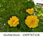 yellow cosmos flower or cosmos... | Shutterstock . vector #1309767118