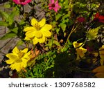 yellow cosmos flower or cosmos... | Shutterstock . vector #1309768582