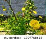 yellow cosmos flower or cosmos... | Shutterstock . vector #1309768618