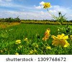 yellow cosmos flower or cosmos... | Shutterstock . vector #1309768672