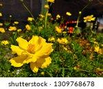 yellow cosmos flower or cosmos... | Shutterstock . vector #1309768678