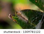 shaggy caterpillar on leaf in... | Shutterstock . vector #1309781122