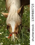 beautiful young bay stallion...   Shutterstock . vector #1309880725