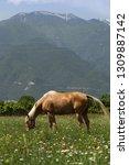 beautiful young bay stallion... | Shutterstock . vector #1309887142