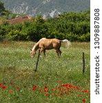 beautiful young bay stallion... | Shutterstock . vector #1309887808