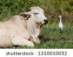 closeup resting zebu  bos...   Shutterstock . vector #1310010052