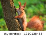 furry squirrel is sitting on... | Shutterstock . vector #1310138455