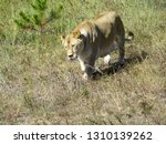 Lioness Walking In The Aviary