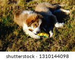 Stock photo two small fluffy puppies playing outside on green grass two cute sweet puppy playing gorgeous 1310144098