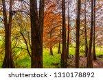 deciduous cypress at winter | Shutterstock . vector #1310178892